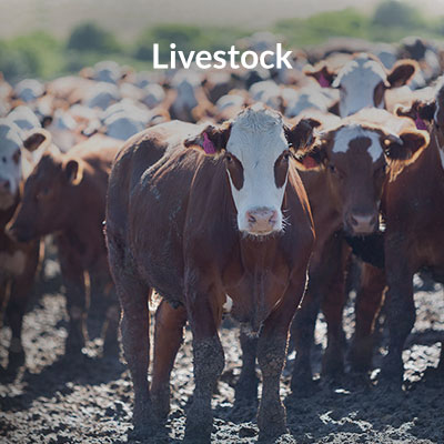 Shipping Livestock Air Cargo and Freight