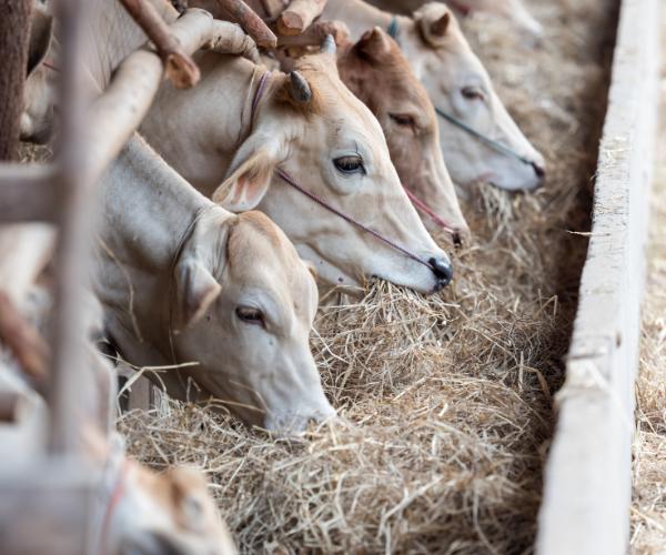 livestock transport eating